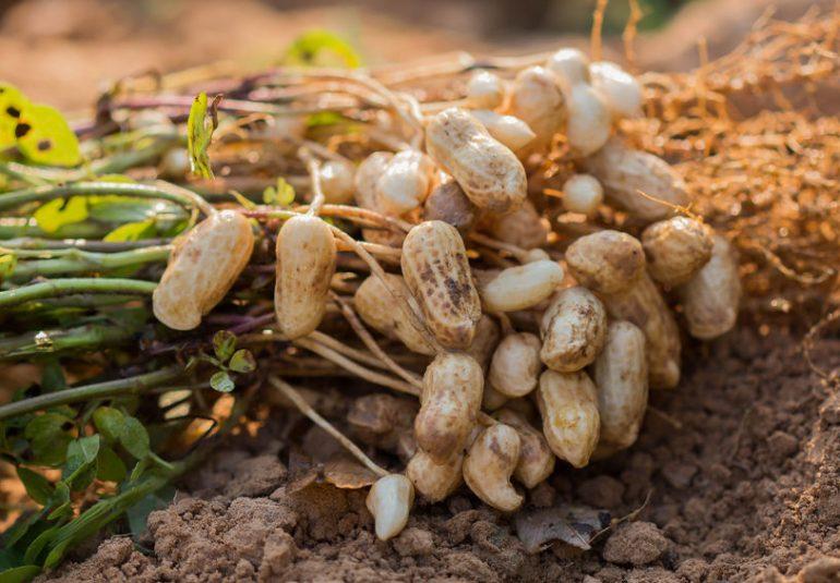 Pianta degli arachidi