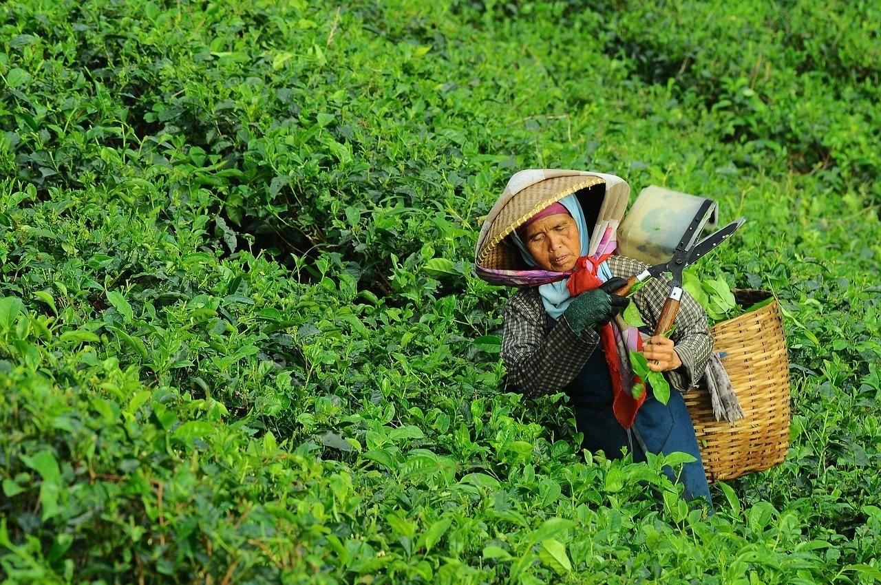 Coltivazione tè verde